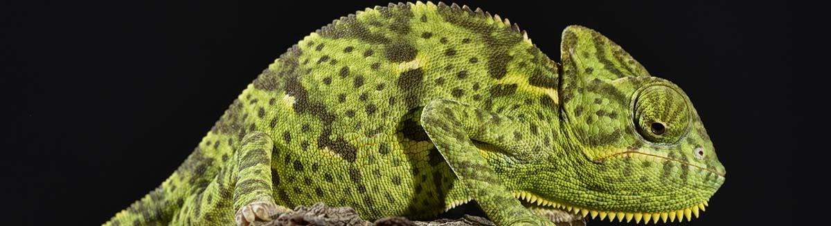 buy iguanas in Batavia, IL