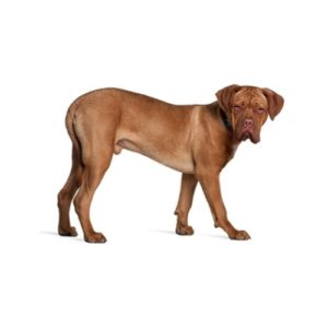dogue-de-bordeaux