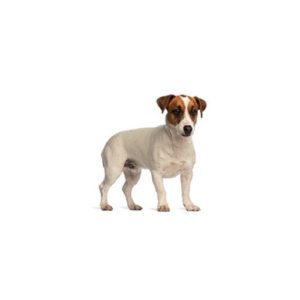 smooth-fox-terrier