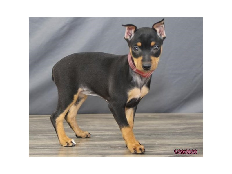 Miniature Pinscher-Female-Black / Tan-2613843-Petland Batavia, IL