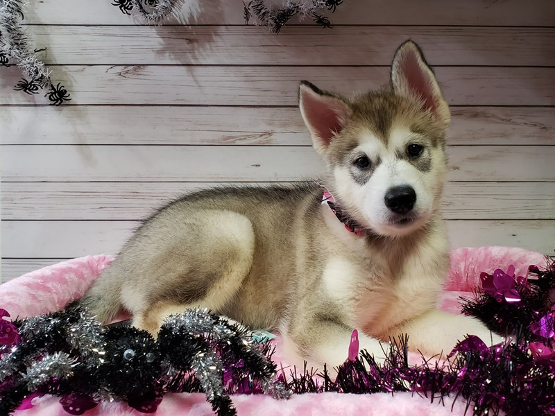 Alaskan Malamute-DOG-Female-Gray / White-2847868-Petland Batavia, IL