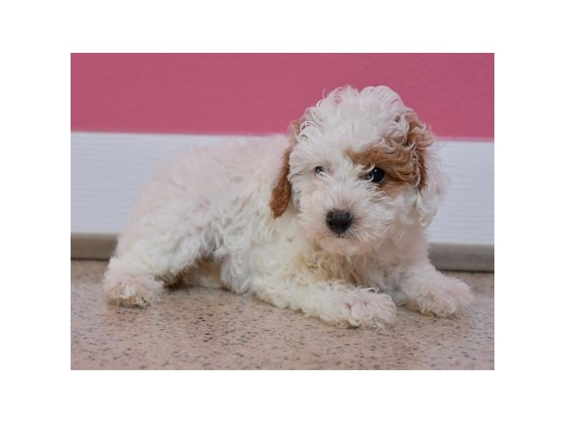 Poodle-Female-White, Red Parti-2869473-Petland Batavia, IL