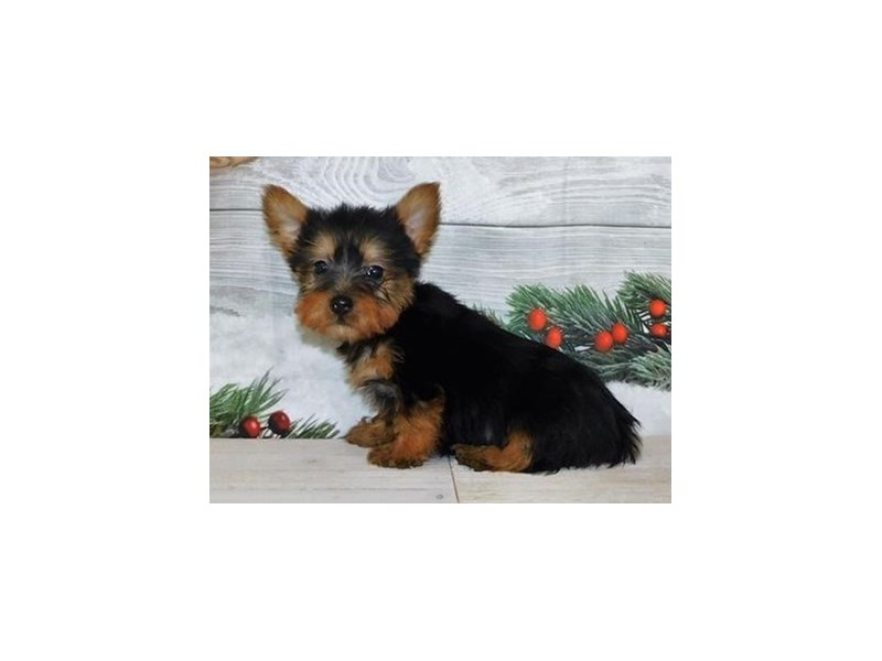 Silky Terrier-DOG-Male-Black / Tan-2942115-Petland Batavia, IL