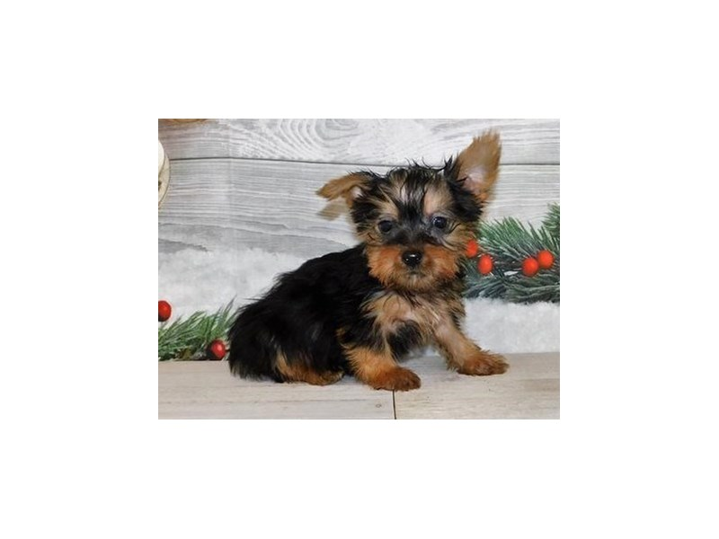 Silky Terrier-Male-Black / Tan-2942129-Petland Batavia, IL
