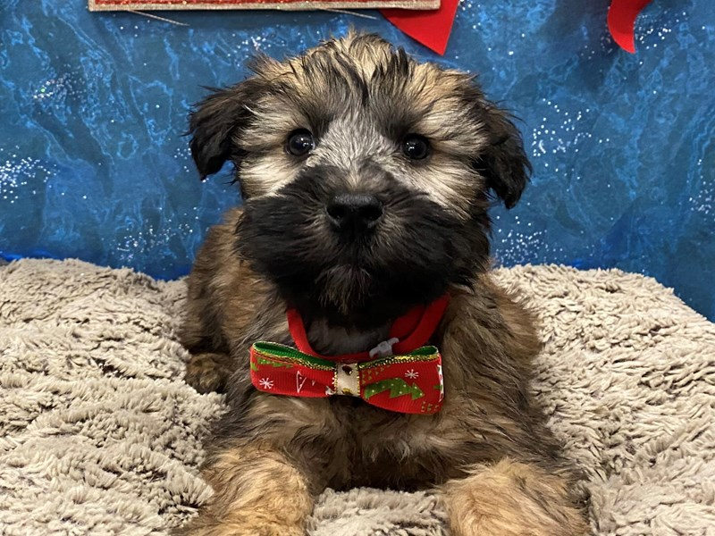 Soft Coated Wheaten Terrier-Female-Wheaten-2925393-Petland Batavia, IL