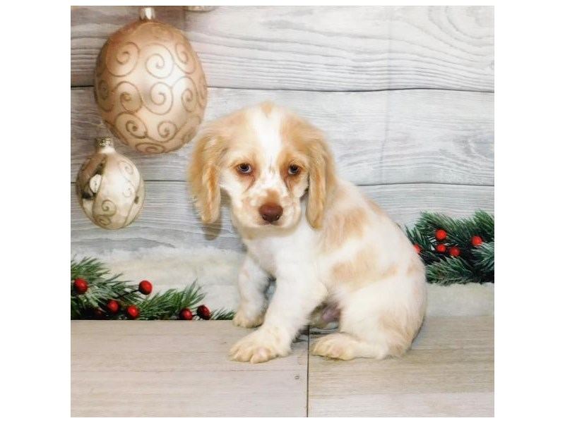 Cocker Spaniel-Male-Buff / White-2942114-Petland Batavia, IL