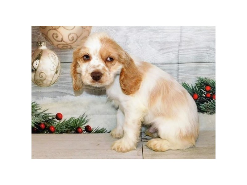 Cocker Spaniel-Male-Buff / White-2942128-Petland Batavia, IL