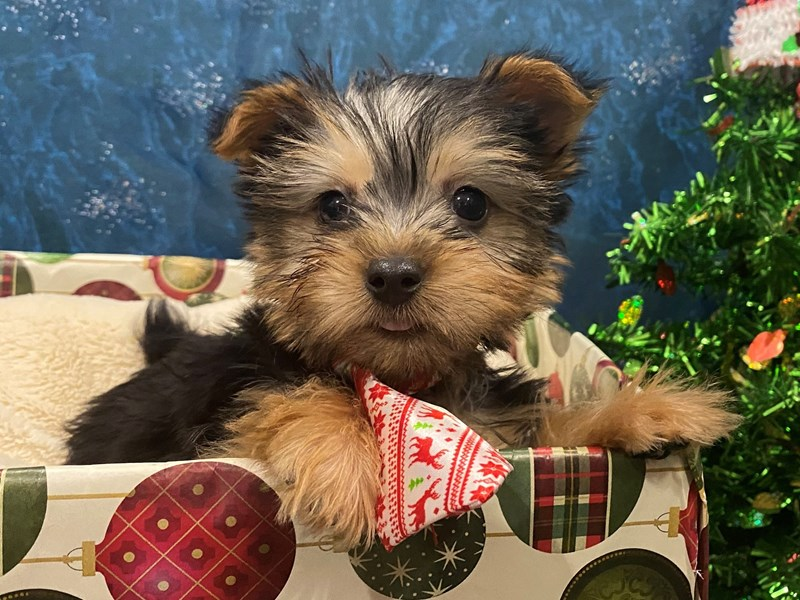 Silky Terrier-Male-Black / Tan-2933928-Petland Batavia, IL