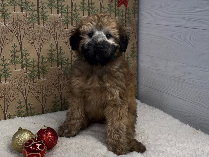 Soft Coated Wheaten Terrier-Male-Wheaten-2925406-Petland Batavia, IL