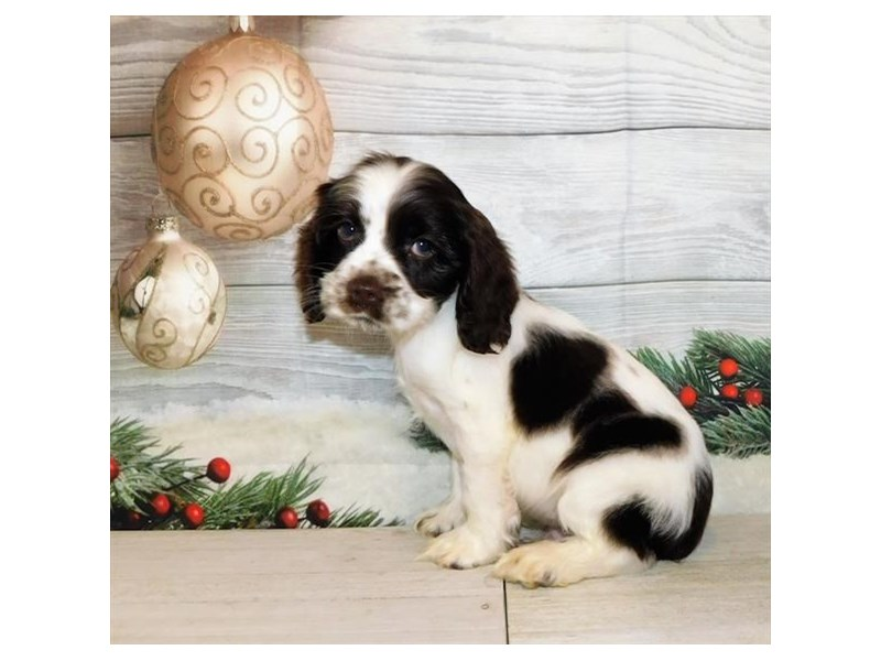 Cocker Spaniel-Male-Chocolate / White-2942068-Petland Batavia, IL