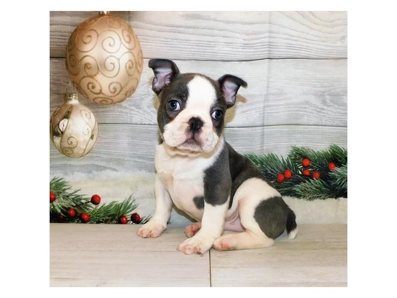 French Bulldog-Male-Blue, White Piebald-2942130-Petland Batavia, IL