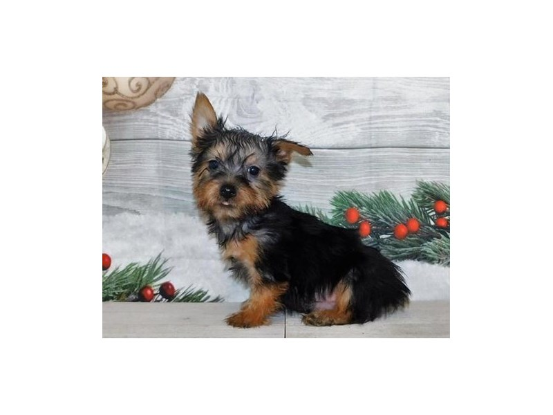 Silky Terrier-Male-Black / Tan-2942071-Petland Batavia, IL