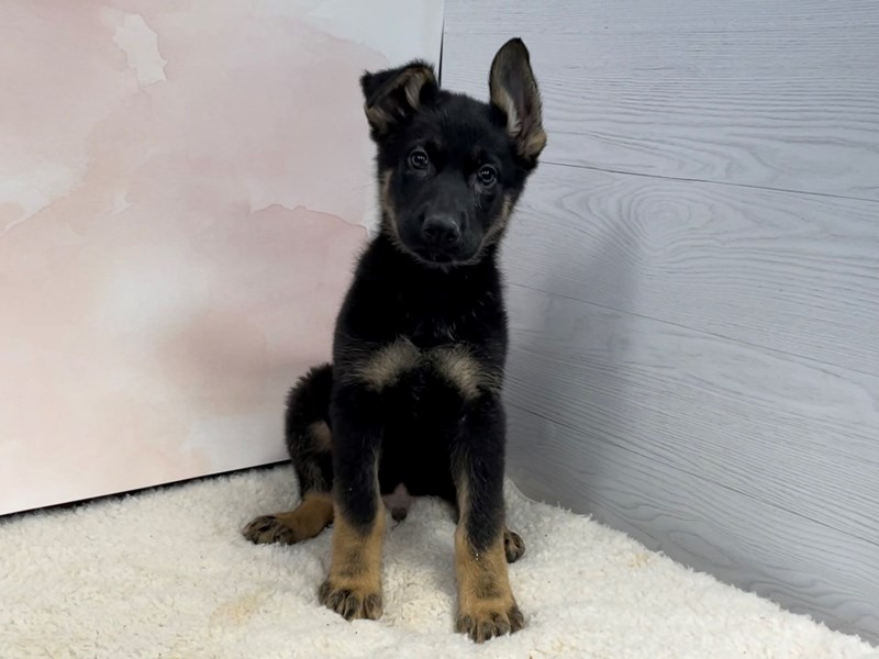 German Shepherd-Male-Black and Tan-2996112-Petland Batavia, IL