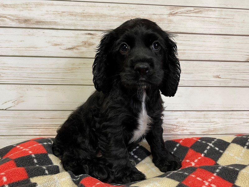 Cocker Spaniel-Male-Black-3013792-Petland Batavia, IL