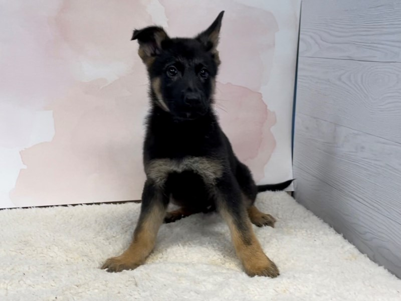 German Shepherd-Male-Black and Tan-2996103-Petland Batavia, IL