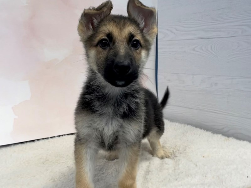 German Shepherd-Female-Black and Tan-2996114-Petland Batavia, IL